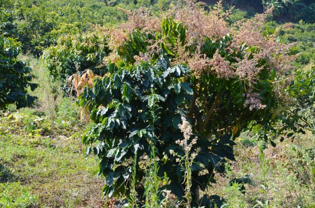 ライチの木